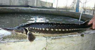 فروش عمده ماهی اوزون برون خاویار مرغوب