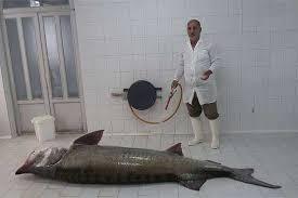 خرید فیل ماهی زنده